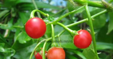 Cà Gai Leo sạch dược tính cao trồng theo quy trình Hữu Cơ SADU