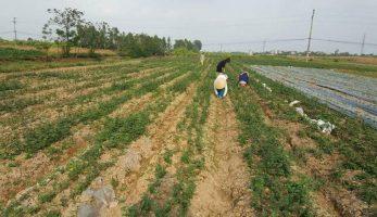 Cách trồng cây Cà Gai Leo