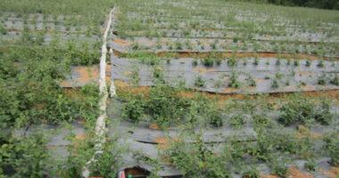 Trồng cà gai leo bằng công nghệ tưới tiết kiệm tại Quảng Trị
