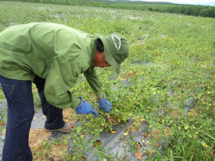 thu hoạch cà gai leo