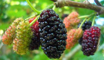 10 bài thuốc chữa bệnh của cây dâu tằm?
