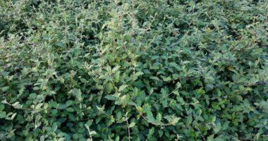 Cây cà gai leo, thảo dược quý chữa được nhiều bệnh quan trọng!