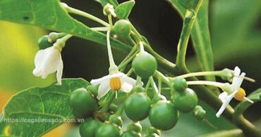 Chữa khỏi mụn cơm bằng quả Cà Dại hoa trắng