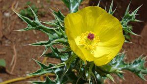 Hình ảnh cây cà gại hoa vàng