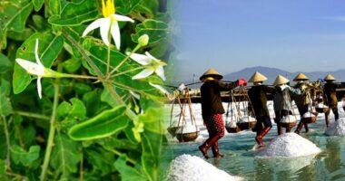 Địa chỉ bán cà gai leo ở Bình Thuận?