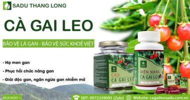 Sản phẩm Cà Gai Leo Sadu dược tính cao Top đầu thị trường