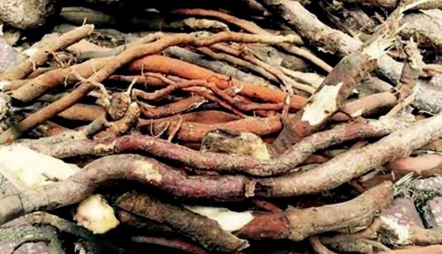Rượu ngâm bổ dương (rễ cau treo)